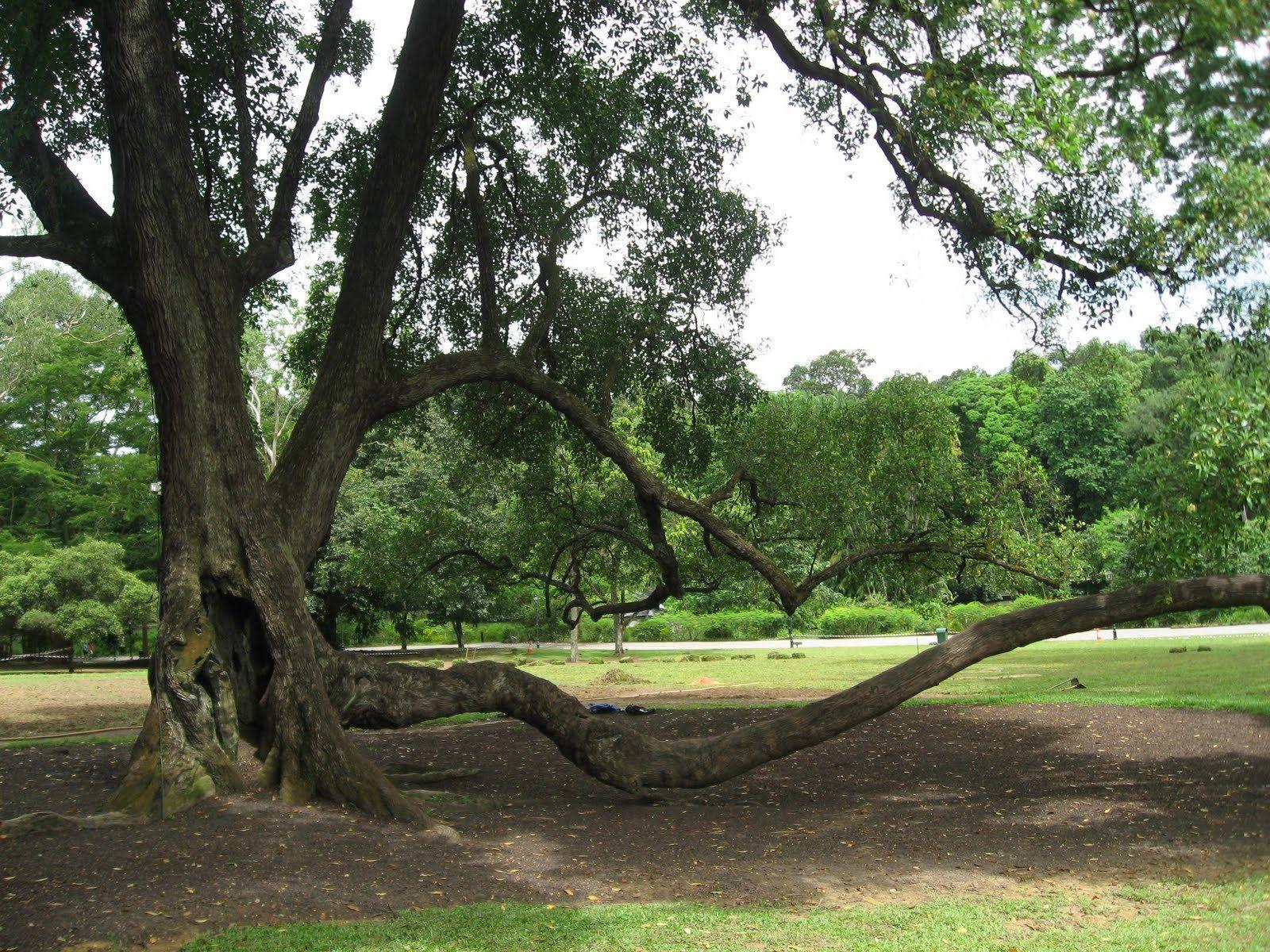 Tembusu Tree on the $5 note | Tree, Singapore botanic gardens, Singapore