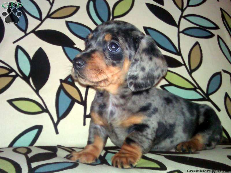 Fuji Dachshund Puppy For Sale From Kirkwood Pa I Want Him Greenfield Puppies Dachshund Puppies For Sale Dachshund