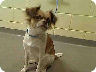 Denver Co Chihuahua Japanese Chin Mix Meet V A Dog For
