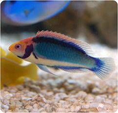 Red Head Solon Fairy Wrasse 75 Gal Min Male Marine Aquarium Fish Big Fish Tanks Marine Fish
