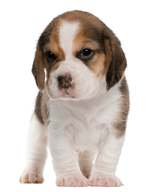 Beagle Puppy 1 Month Old Standing Beagle Puppy Cute Beagles Puppies