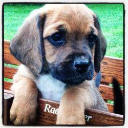 Brumley Pup 1 Is An Adoptable Basset Hound Dog In Louisville Ky