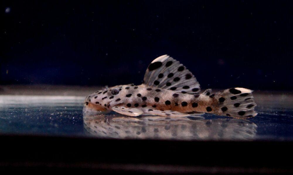 Live Freshwater Fish 1 5 Inch Sultan Pleco L 264 Suckermouth Catfish Plecostomus Catfish Live Freshwater Fish