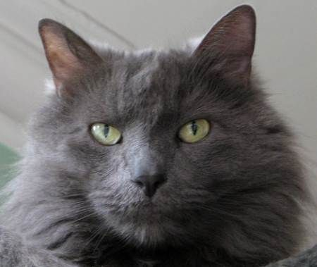 Nebelung Cat Russian Blue Russian Blue Cat