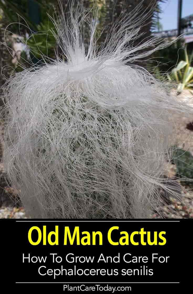 Photo of Old Man Cactus Care – Growing Cephalocereus Senilis
