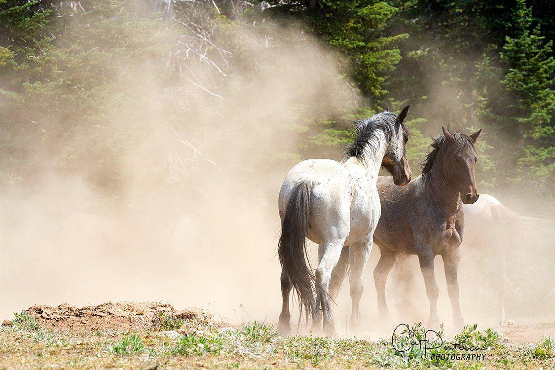 Wild mustangs horses equine western pryor mountains majestic roam