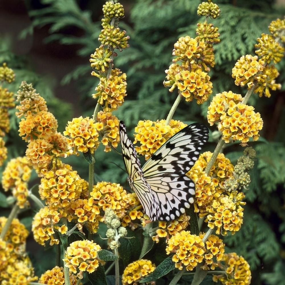 National Plant Network 2 5 Qt Buddleia Honeycomb Flowering Shrub With Yellow Flowers Hd1094 The Home Depot In 2020 Plants Yellow Flowers Flowering Shrubs