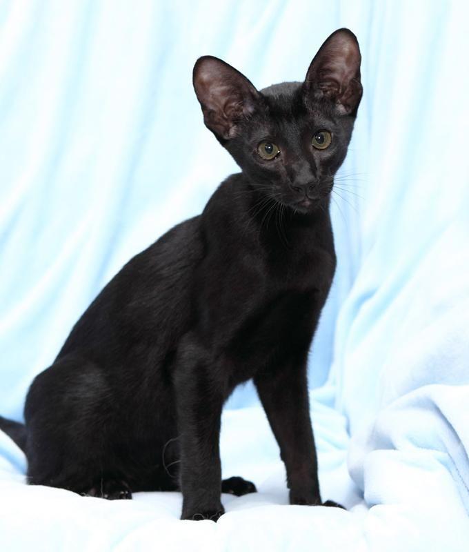 Oriental Shorthair Kitten | Cattery The Logicats | The ...