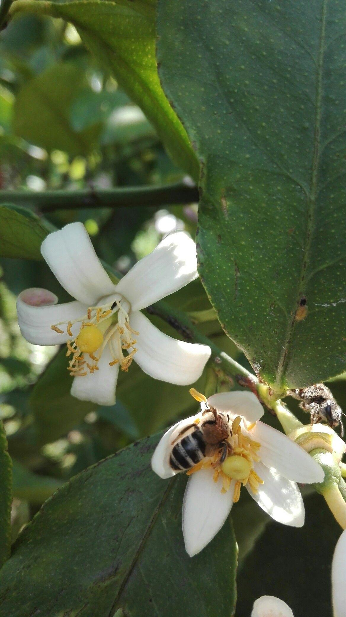 Floare de lămâie