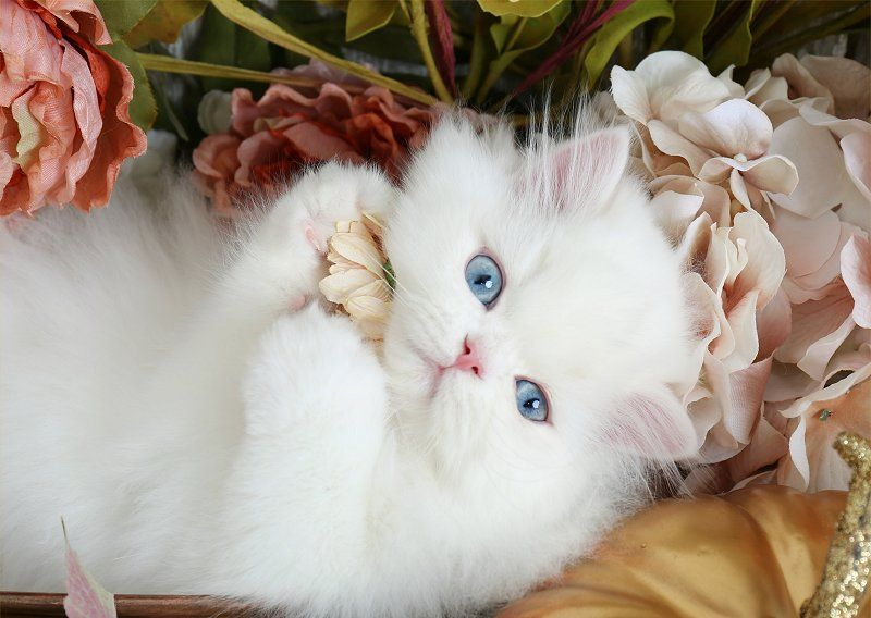 Blue Eye White Persian Kitten For Sale White Persian Kittens Persian Kittens Persian Cat White