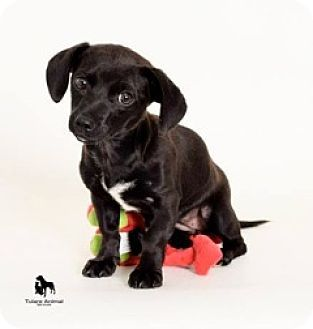 Bellingham Wa Dachshund Chihuahua Mix This Adorable Little Chi