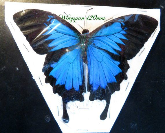 Taxidermy REAL Unmounted FOLDED Papilio ulysses BLUE Butterfly