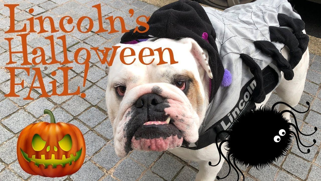 Lincoln S Halloween Fail English Bulldog Youtube