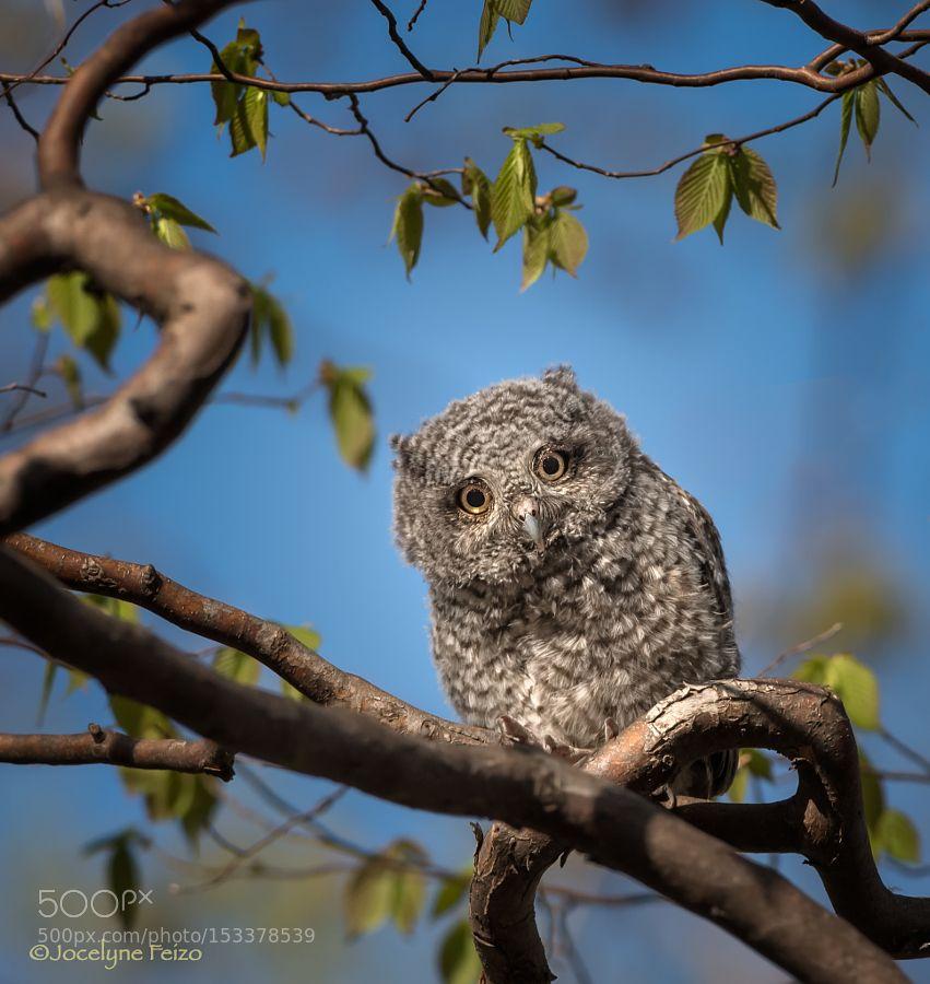 Eastern Screech-Owl juvenile by jocelynefeizo1