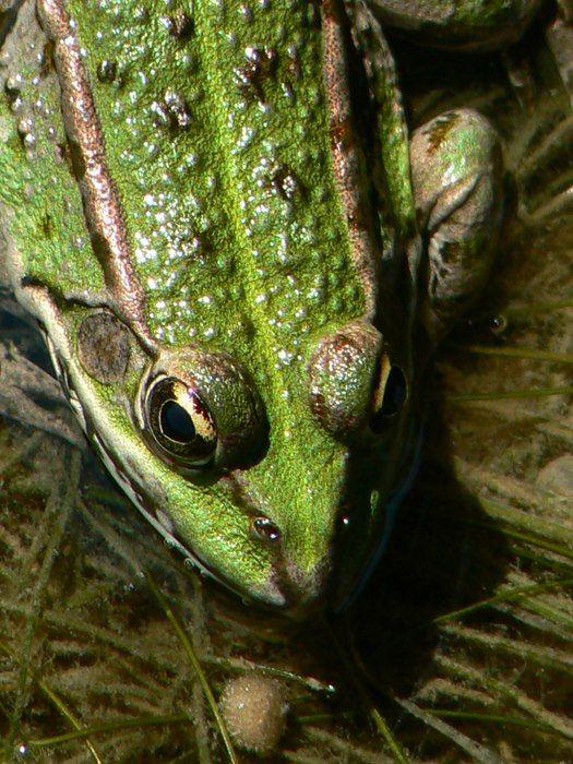 Grenouille verte (Pelophylax sp.)