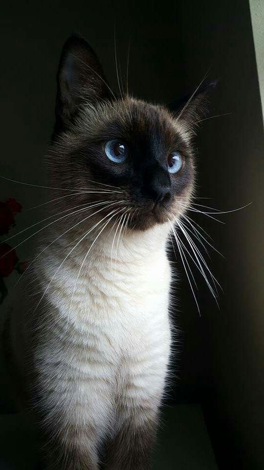 A Look At Siamese Cats #catbreeds