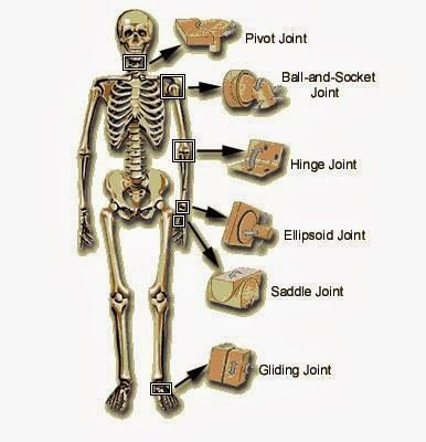 Body Movements (Joints, Bones and Skeleton) | Study Material ...