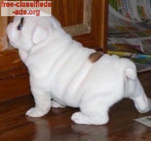 Free Classifieds Ads Org Akc English Bulldog Puppies 209 856