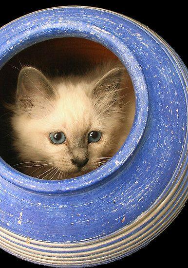Cat In Vase Ii By Gareth Chalklen Cats Pinterest Gato Color