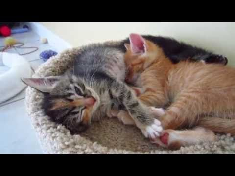 Three Super Cute Foster Kittens Sleeping Together On Top Of A Cat Condo 4 Weeks Old Youtube Sleeping Kitten Foster Kittens Cat Condo