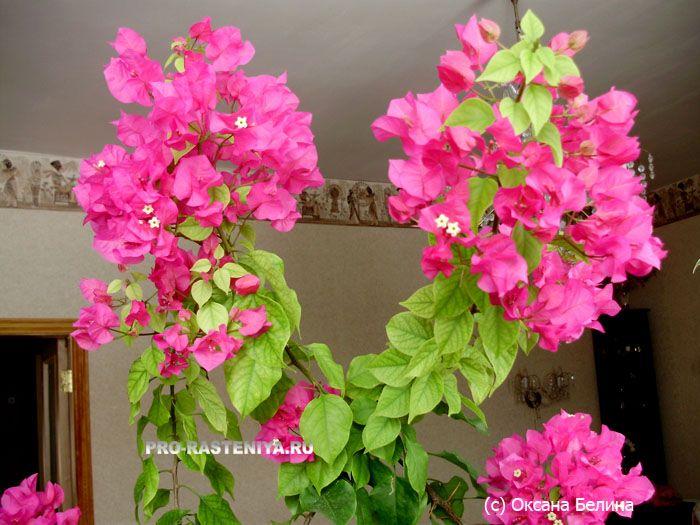 Бугенвиллия: посадка, уход, размножение   Растения ...