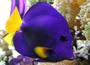 Purple Tang Zebrasoma Xanthurum The Free Information Society Marine Fish Salt Water Fish Saltwater Fish Tanks