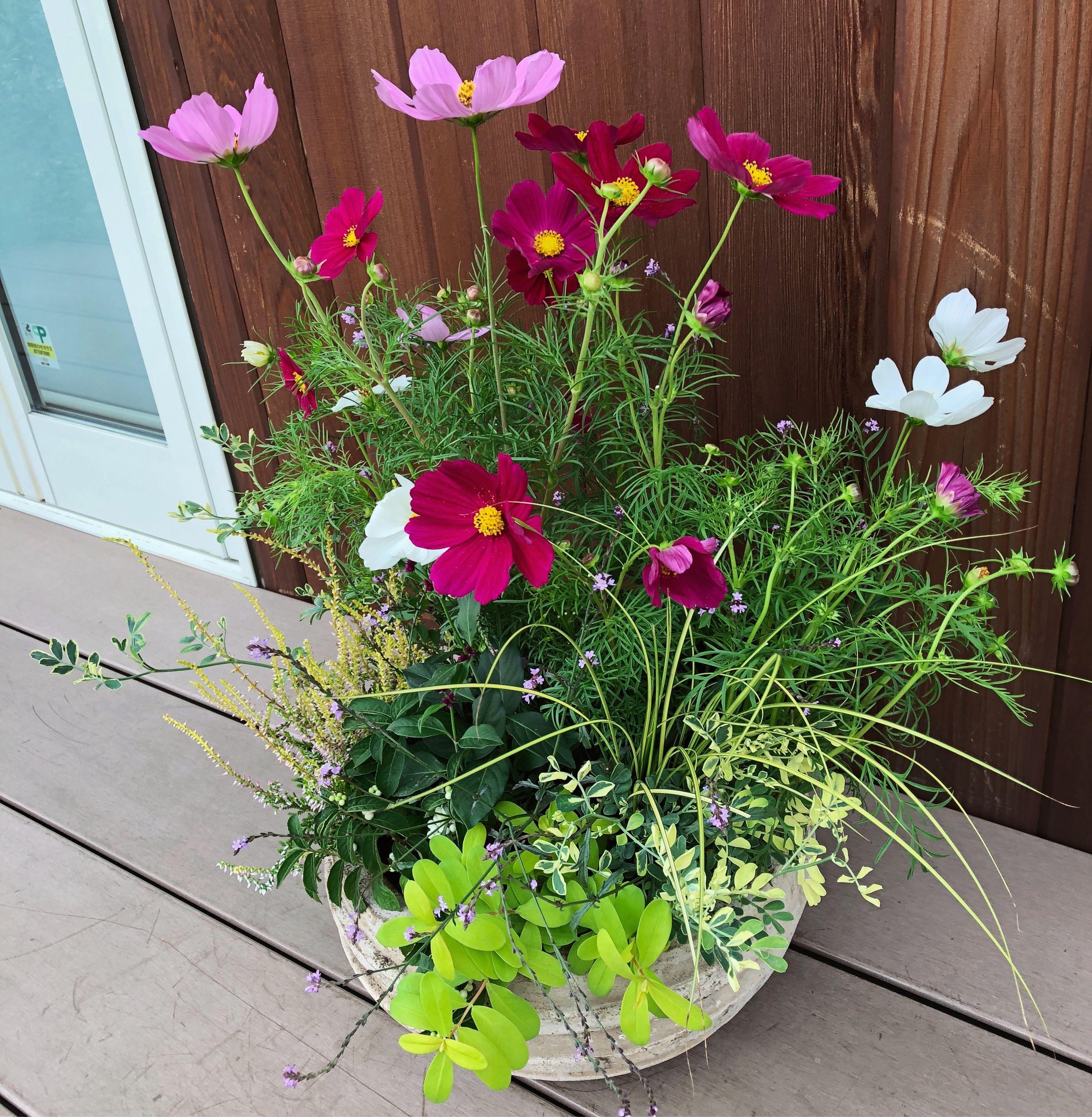 Planting Designer Cosmos Shadecontainergardeningideas Garden Yard Ideas Container Gardening Plants