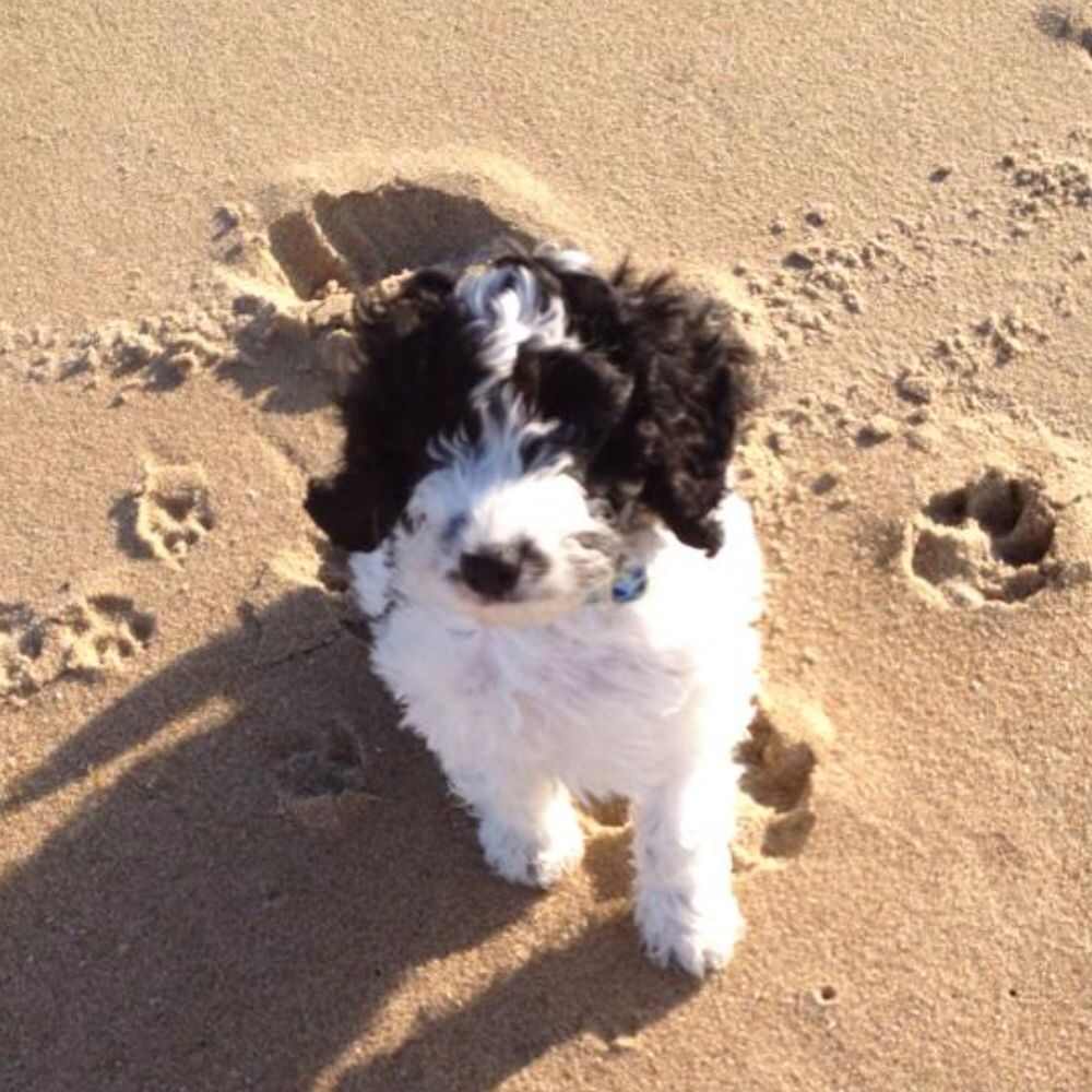 Mini Sproodle From Oldmilldoodles Dogs English Springer Spaniel Pets