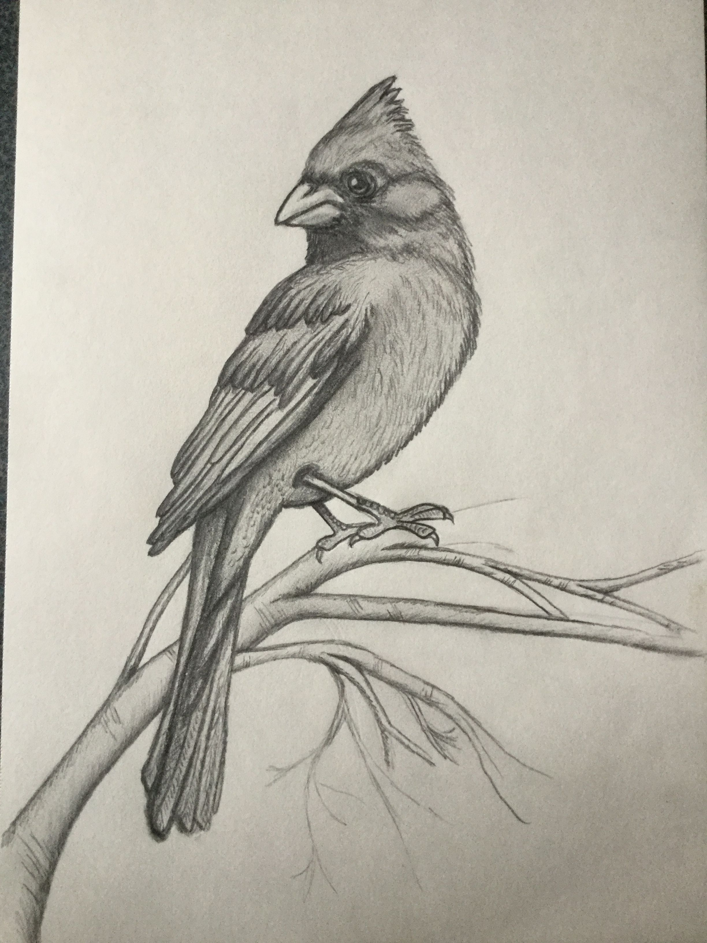 My cardinal bird drawings easy drawings animal drawings pencil drawings shading drawing