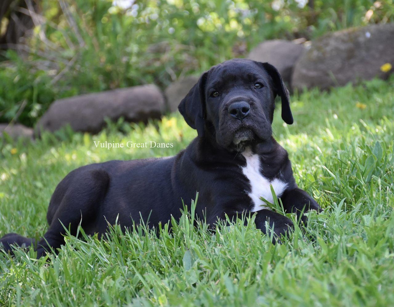 Black great dane puppy great dane puppy black great