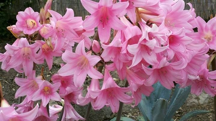 Pink lady lilies california pink naked lady flower amaryllis pink lady lilies california pink naked lady flower amaryllis belladonna mightylinksfo