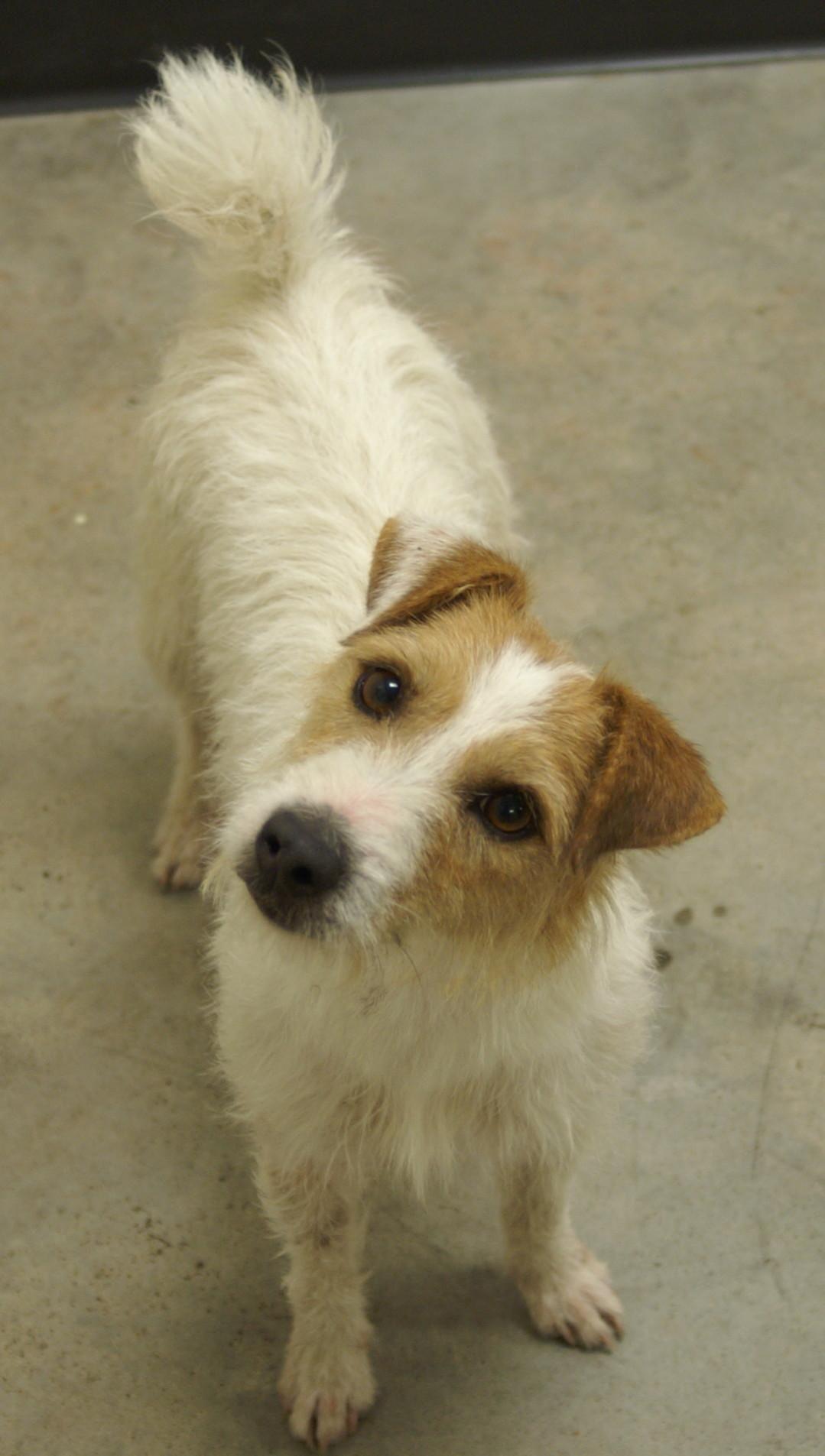 Adopt Twinkie On Petfinder Jack Russell Terrier Puppies Jack Russell Puppies Jack Russell