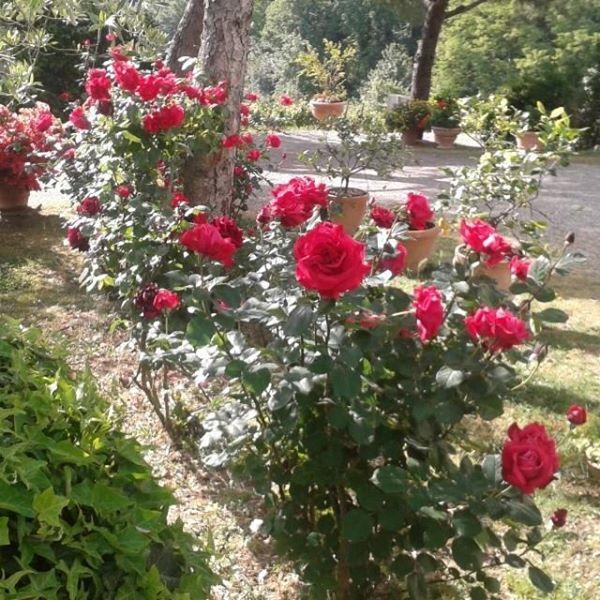 un buongiorno profumato di rose rosse a Poggio al Bosco | Rose rosse, Rose,  Bosco