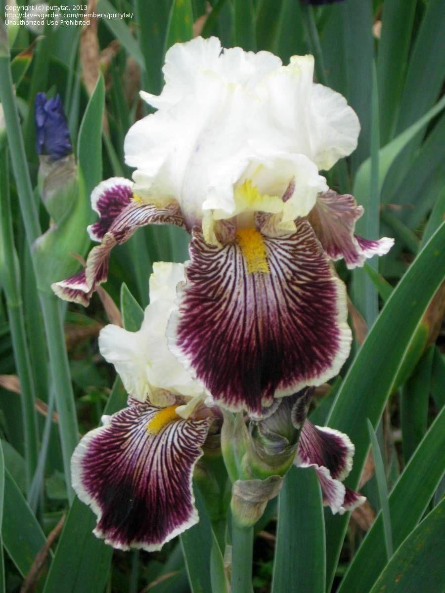 Full size picture of tall bearded iris quizzical iirisi full size picture of tall bearded iris quizzical izmirmasajfo