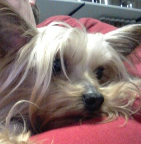 Binkie: is an adoptable Yorkshire Terrier Yorkie  in London, ON Binkie is a tiny Yorkshire Terrier.  Weighing just over 3 lbs, this little sweetheart is a surv ... ...Read more about me on @Petfinder.com.com
