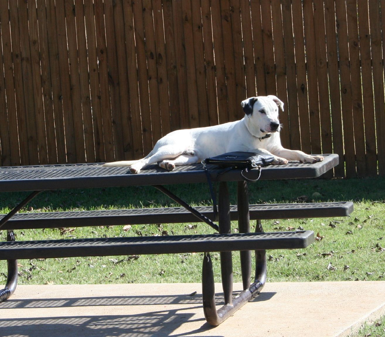 Dalmatian dog for Adoption in Euless, TX. ADN721305 on