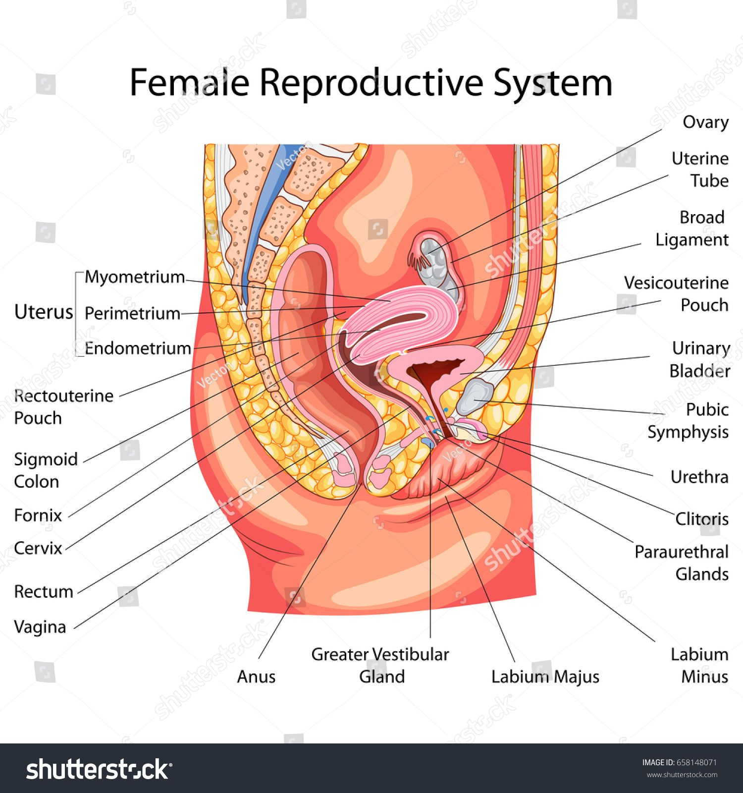 Education Chart Of Biology For Female Reproductive System Diagram Vector Ill In 2020 Female Reproductive System Anatomy Female Reproductive System Reproductive System