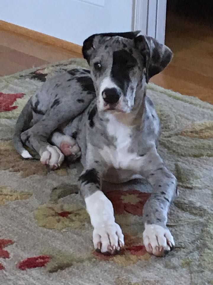 Ears That Do The Dab Merle Great Danes Beautiful Dogs Great Dane