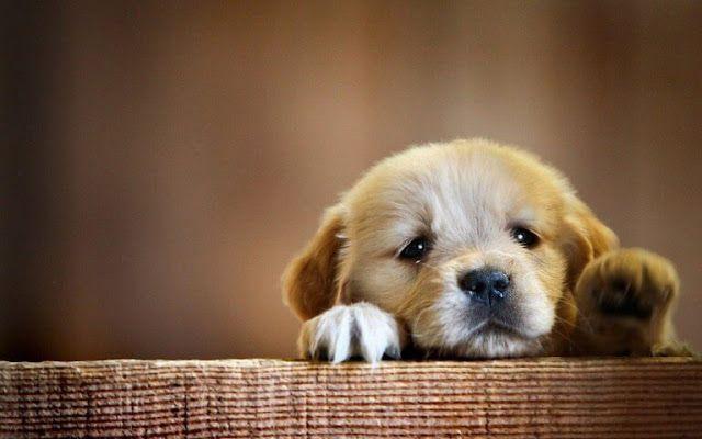 Cute Puppy Wallpaper HD Images Pics Download