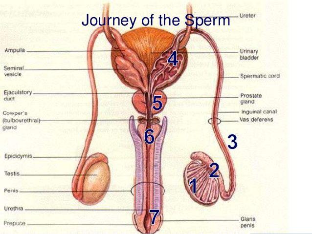 Physiology Sex 60