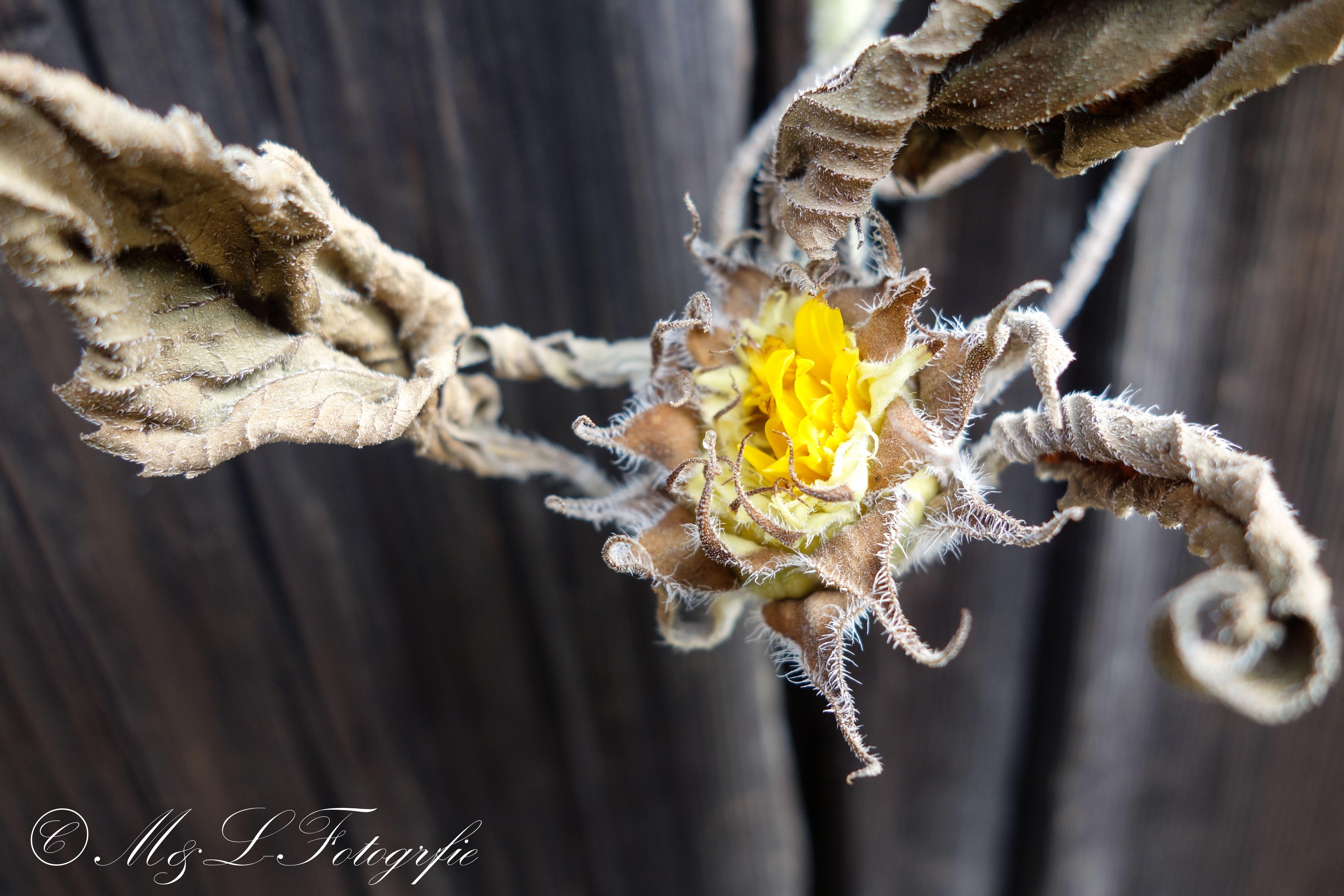 Ich Hoffe Euch Gefallt Mein Bild Es Zeigt Eine Sonnenblumenblute Bei Frostigen Temperaturen Lg Lukas