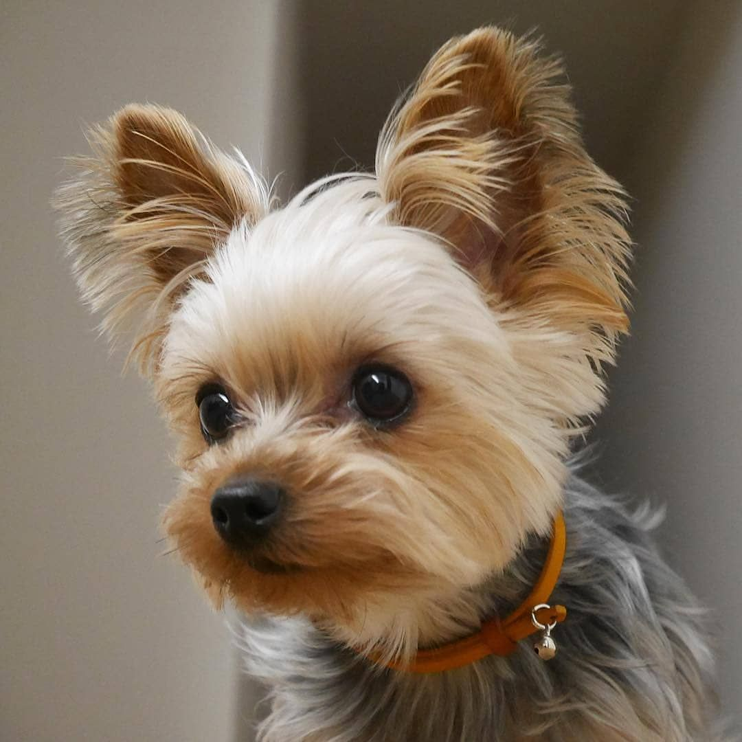 Yorkies Mini On Instagram Follow Yorkies Planet Credit Yorkies Corner Yorkidog Yorkiepoodle Yorkiest Yorkie Poodle Yorkie Terrier Yorkie Puppy