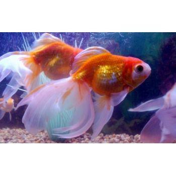 Livefishshop Com Fantail Goldfish Goldfish Goldfish Types