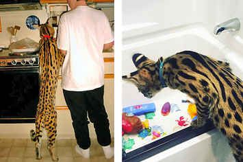 People Have Giant Cats Living In Their Houses And Oh My Goodness
