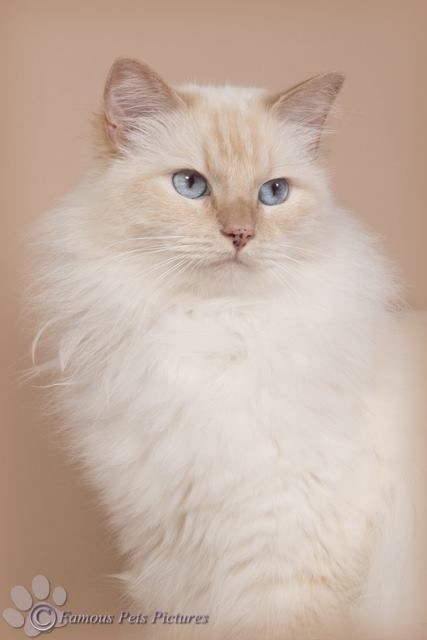 Een Studiofoto Van Mascotte Famous Mijn Cream Point Ragdoll Cat