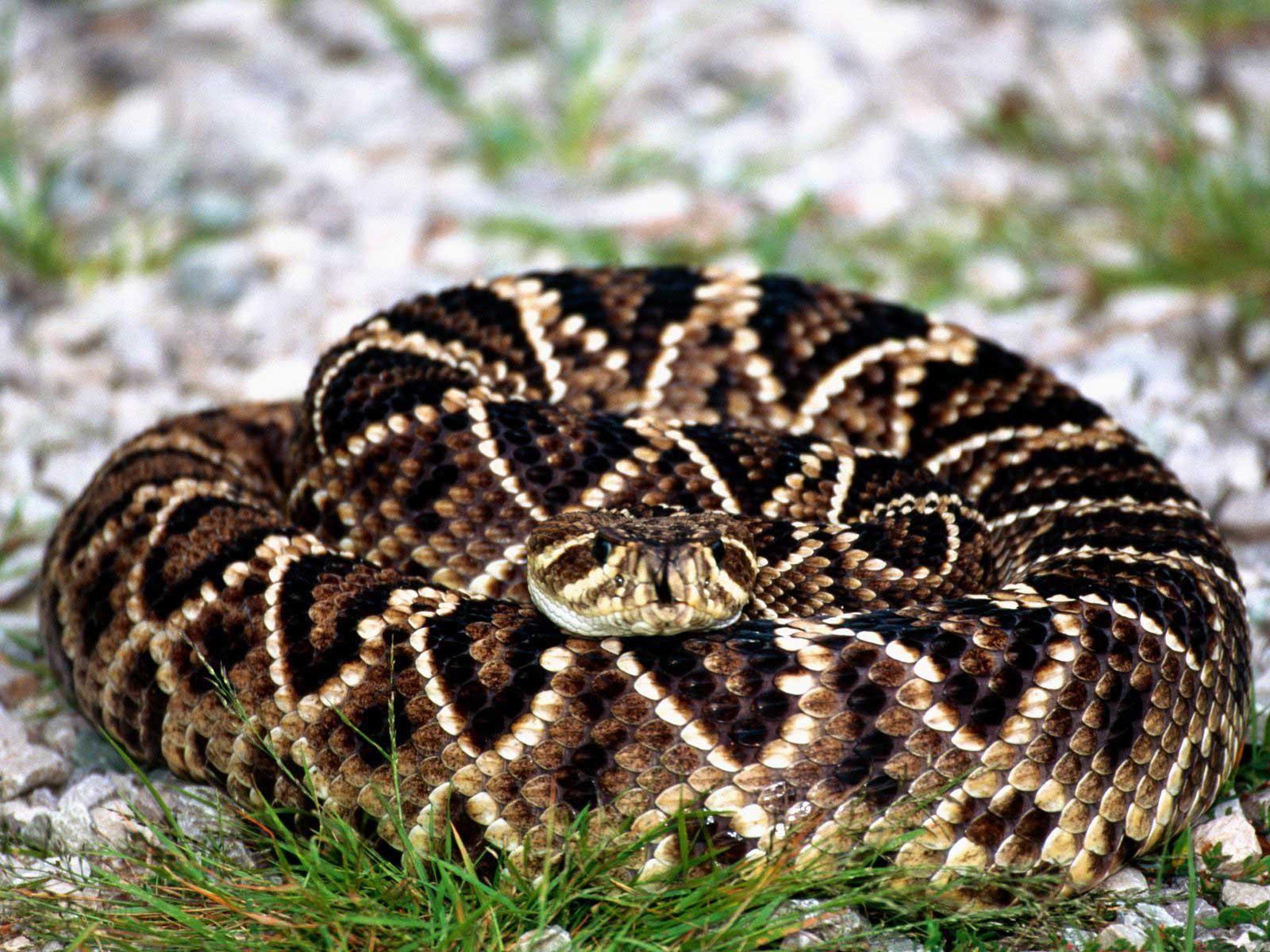 Rattlesnake!!