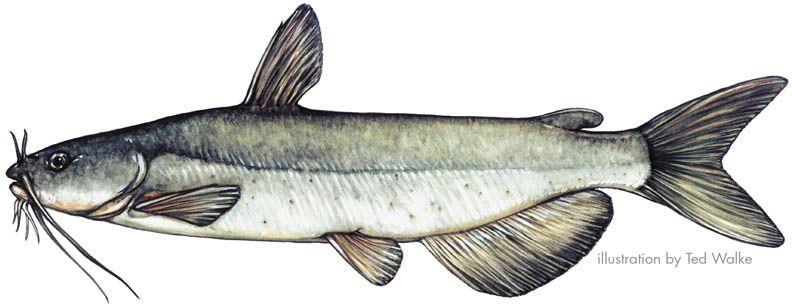 Catfish Drawing Google Search Catfish Tattoo Channel Catfish