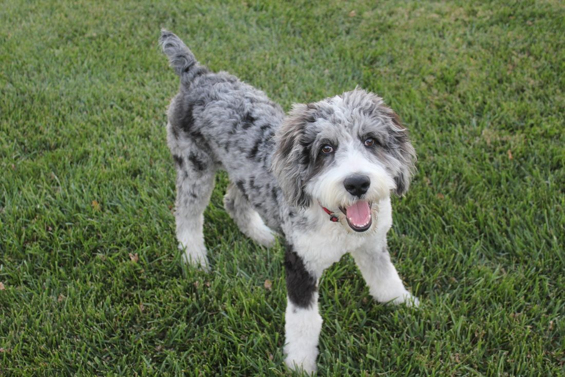 mini aussiedoodle full grown (With images) Labradoodle