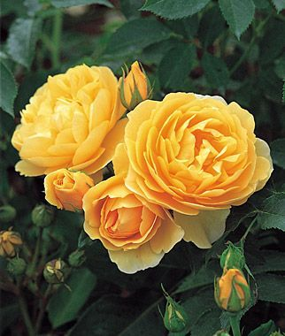 Graham Thomas 'Graham Thomas' - gorgeous Hall of Fame English rose with rich yellow cupped flowers, large bright green leaves and dreamy tea rose scent. 'Graham Thomas' - gorgeous Hall of Fame English rose with rich yellow cupped flowers, large bright green leaves and dreamy tea rose scent.