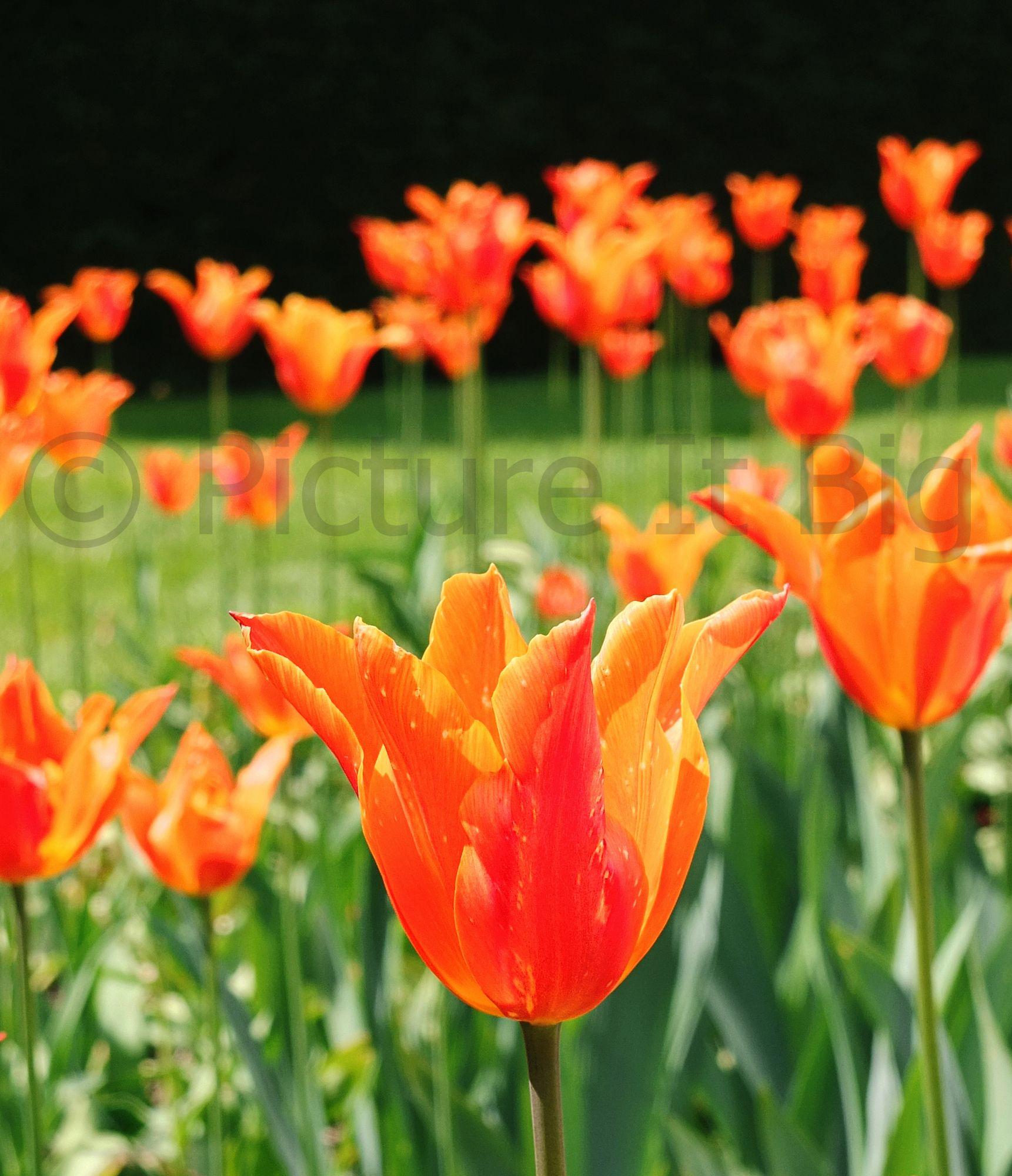 Photographed at #ArleyHallandGardens  #tulips www.picture-it-big.co.uk